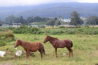 Loslopende paarden in Nuwara Eliya