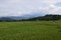 De rijstvelden in Pai