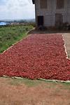 Pepertjes die liggen te drogen in de zon