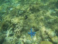 Blauwe zeester (en dat donkere ding erboven is een zeekomkommer!)