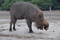 Baardzwijn