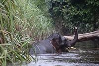 Borneodwergolifant