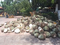 Agave pineapple