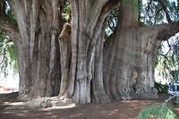 Breedste boom ter wereld
