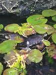 Schildpadjes in de cenote