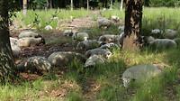 leenderbos - schapen  7