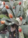 Schijfcactus met vruchten