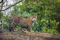 1280-462033081-jaguar-cat