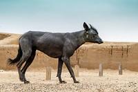 Peruviaanse naakthond op de Chan Chan site