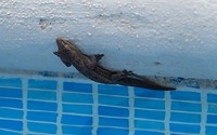 gecko bij het zwembad