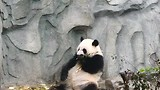 Giant panda heeft honger