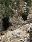 Fur Seals youngsters