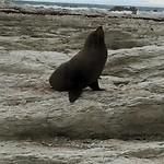 Gompie de zeehond