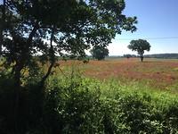 Bloeiende klaprozenveld