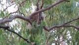 Koala met jong op de camping