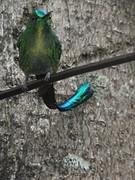 kolibrie langestaart