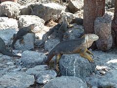 iguanas onder de bomen