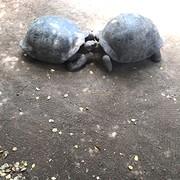 turtle love