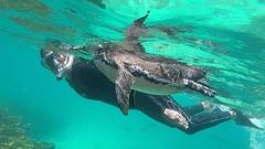 zwemmen met pinguïn