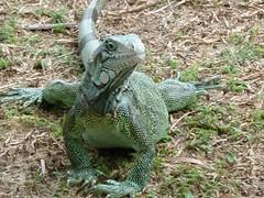 iguana in mangal