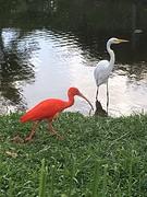 Rode (of witte opgewonden) ibis in park mangal de garcas