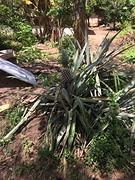 Ananasplant