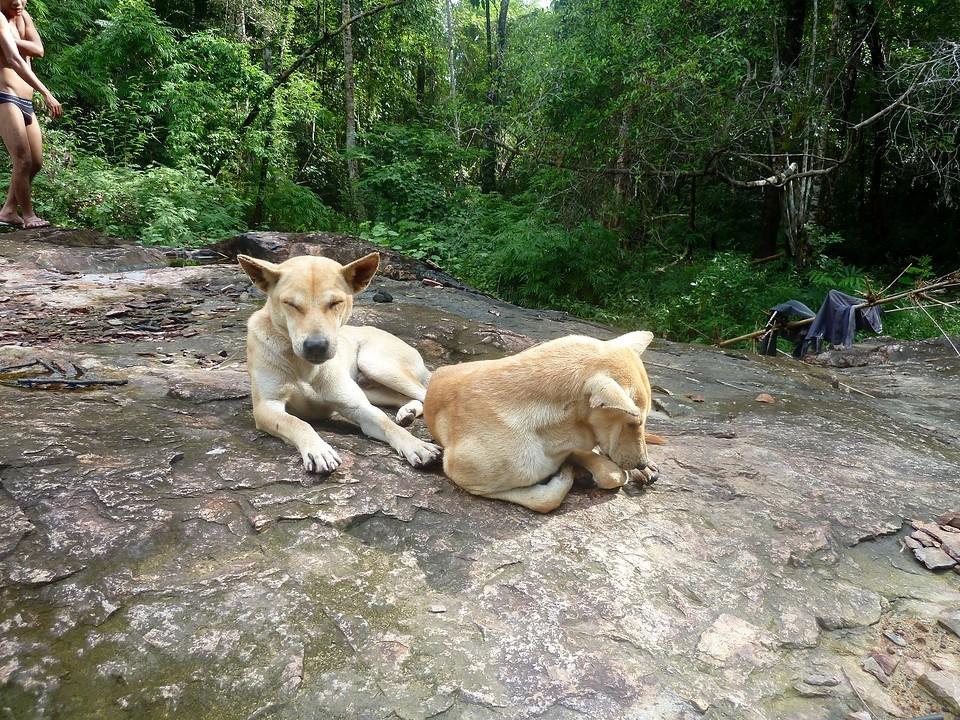 De jachthonden van  Cho