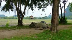 Buffels bij de tempel van King Dinh