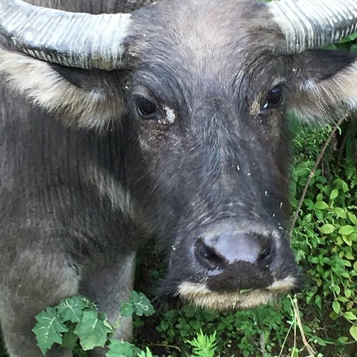 De buffalo