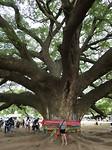 Giant Monkey Tree