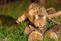 Dag 4 - Europese Wilde kat © Wim Hoek
