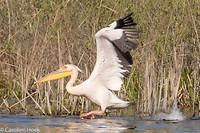 Dag 4 - Roze pelikaan
