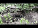Komodo dragon at Rinca