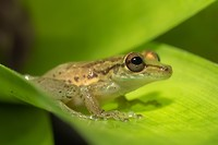 Dag 2 - Narrow-headed Treefrog