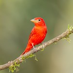 Dag 3 - Summer tanager