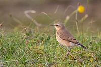 Dag 7 - Tapuit - Northern wheatear