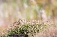 Dag 9 - Graspieper - Meadow pipit