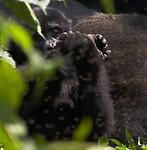 Dag 12 - Berg gorilla's in Bwindi Impenetrable National Park