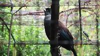 Tui vogel zingt een liedje.