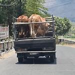 Koeien vervoer je zo