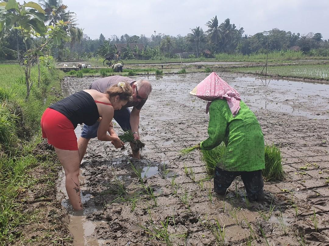 Rijst poten