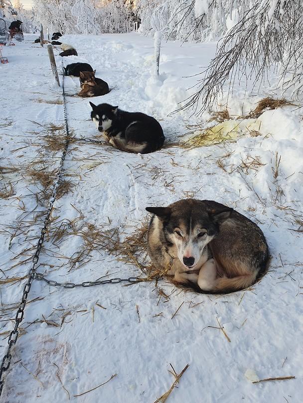 Slaapplaats huskys