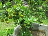 Maleisie limoenboom