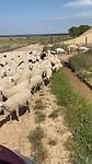 De schaapjes