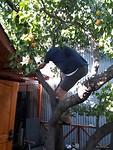 Wim kan het klimmen niet laten, zelfs in een abrikozen boom....