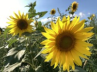 Sunflowers ...make me smile:-)