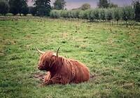 Stoere koeien 🐮