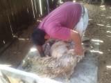 Mapuche scheert een schaap
