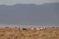 Wilde Przewalski paarden