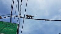 Apen wandelen boven de straat